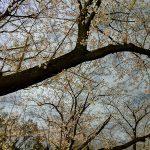 新宿公園でパイン主催のお花見にバンドマン集合