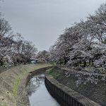 お花見日和!令和二年の善福寺川緑地の桜は現在五分咲き