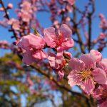 2021年の善福寺川沿いの桜はまだ開花しておらず